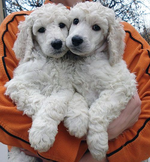How sweet is that, have only one poodle, makes you think about getting another, they are adorable.