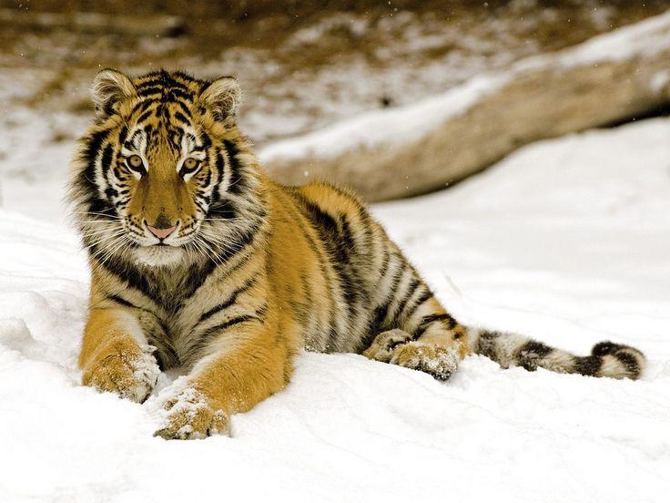 Snowy Afternoon, Tiger | by Mr Monis