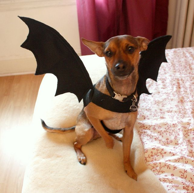 Bat dog costume. Going to have to construct this for Oso, I think.