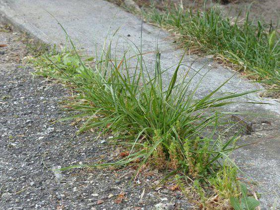 Mauvaises herbes :Une méthode bio simple et bon marché à utiliser dans les endroits où on rien ne doit pousser (le bord du trottoir et les interstices