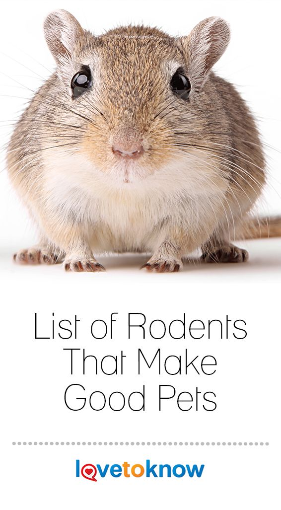 List Of Rodents That Make Good Pets In 2020 Pet Rodents Rodents Pet Mice