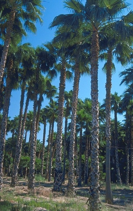 However in the city itself, Citrus trees are outnumbered by palms such as the Mexican Fan Palm.