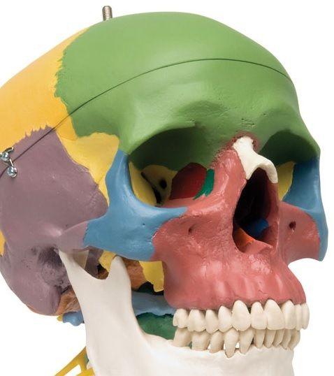 Human Skull Models http://www.gtsimulators.com/Skull-Model-Human-Skull-Models-s/24.htm #HumanSkullModels #SkullModels #AnatomicalSkullModels #SkullAnatomyModels