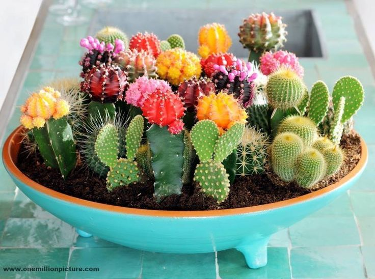 a mini cacti garden could be a centerpiece in the dining room decor for the living room or bathroom