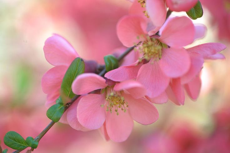 Pink Spring Marvels Photograph by Jenny Rainbow