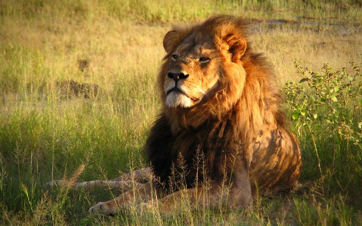 Donald Trump is reconsidering allowing imports of hunting trophies of endangered species. Speak out for African lions!