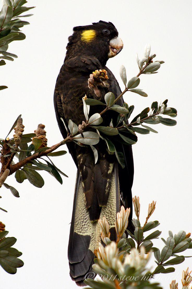 Yellow-tailed Black Cockatoo - Calyptorhynchus funereus. Male  60-69 cm.