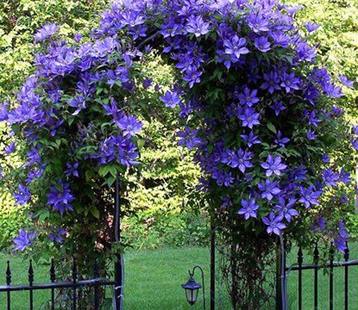 Egrow 100pcs Clematis Flower Seeds Perennial Vines