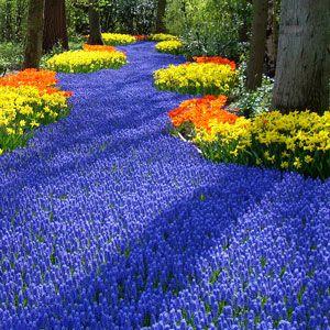 Dutch Garden Keukenhof: Beautiful Flower, Allure Gardens, Gardens Keukenhof, Spring Flower, Beautiful Spring, Keukenhof Gardens, Blue Carpets, Flower Spring, Dutch Gardens