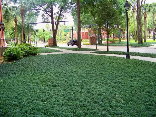 "Stetson University in DeLand, Florida, USA. Has replaced some lawn areas in densely shaded areas with Ophiopogon japonicus ""nanus"". Nice."