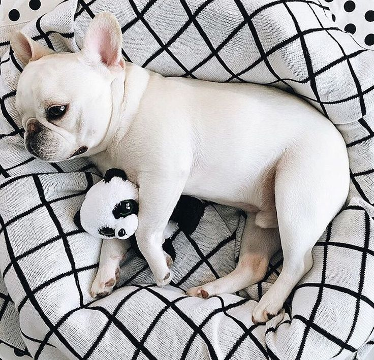Theo Bonaparte, a French Bulldog and his Panda❤️ #theobonaparte on Instagram  #pipolli grid blanket
