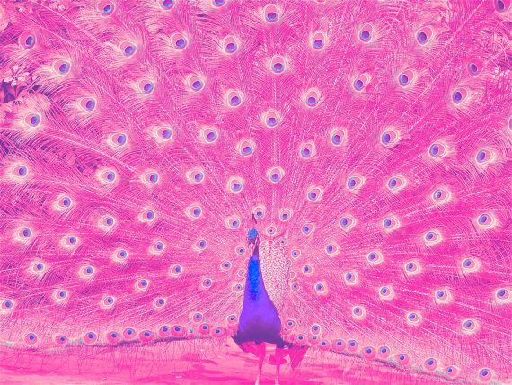 pink peacock ~ love this!                                                                                                                                                                                 More