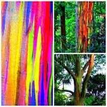 10 Mudas De Eucalipto Arco-íris