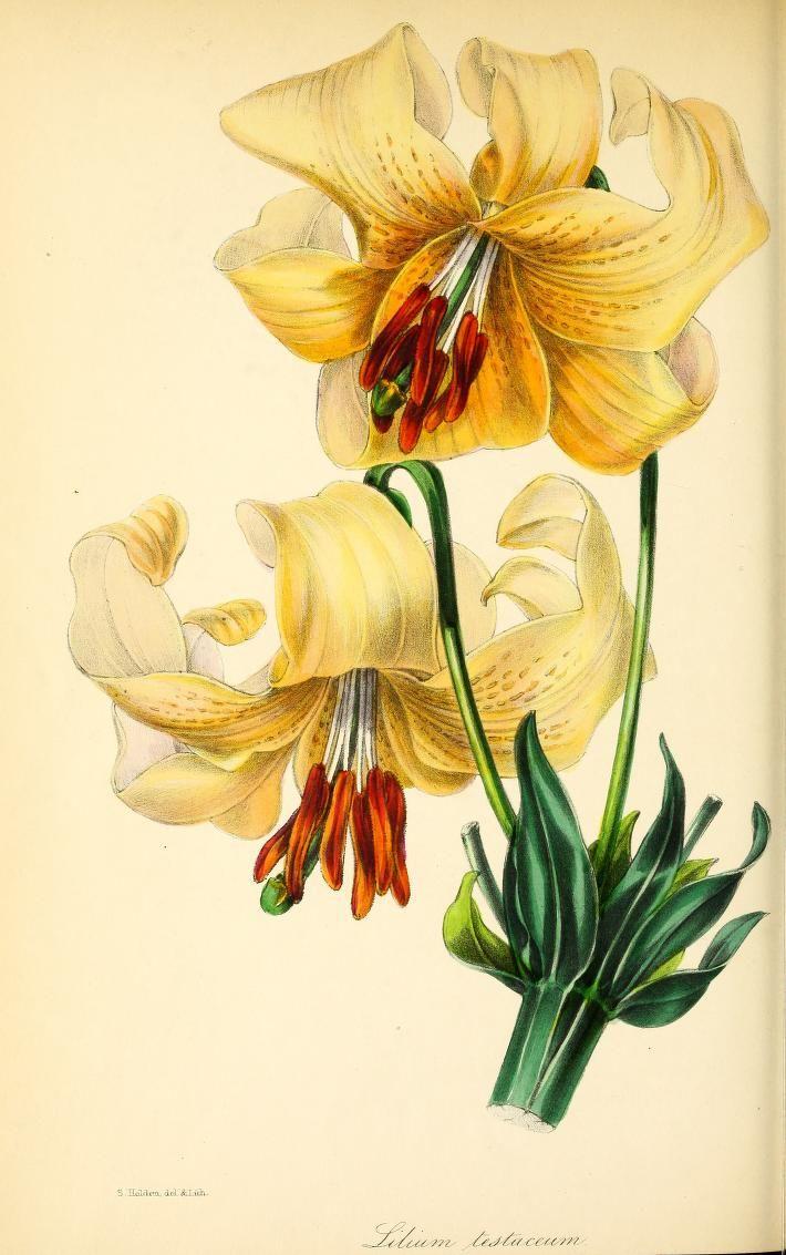 v.10 (1843) - Paxton's magazine of botany, - Biodiversity Heritage Library   day lily: