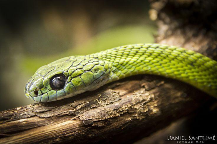 """""""Musa Verde"""", fotografía de una Serpiente Arborícola Verde en el VigoZoo."""