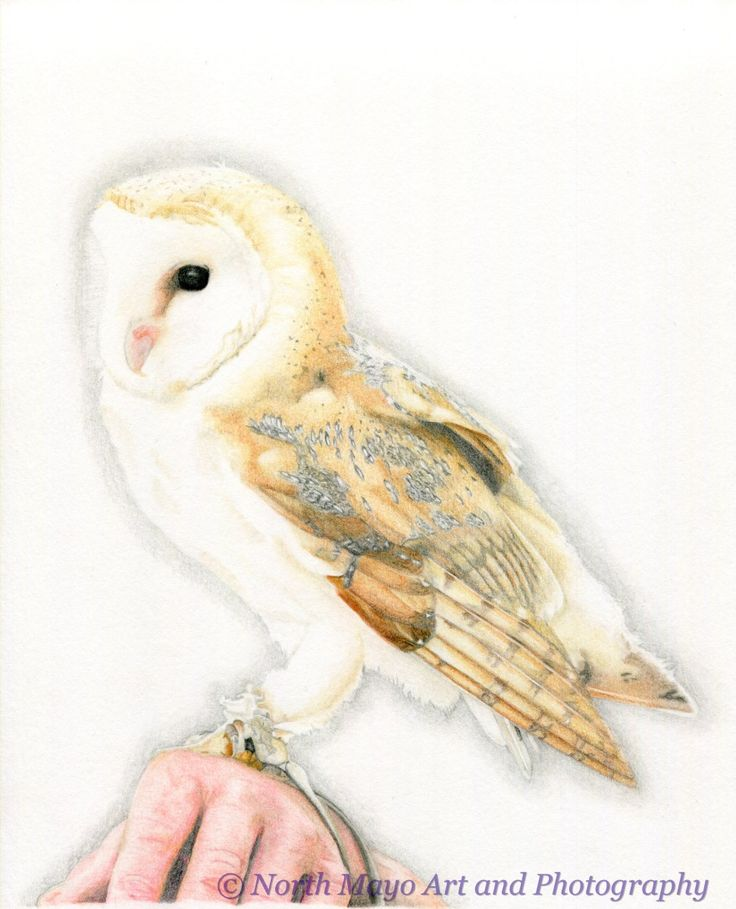 Limited Edition print of original coloured pencil drawing 'Barn Owl'