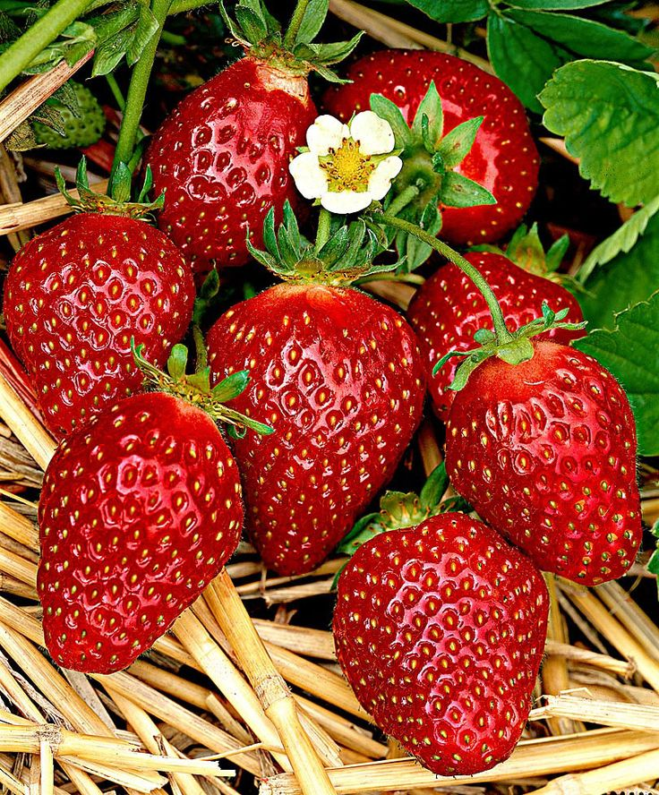 Jordgubbe 'Korona' (Fragaria x ananassa) är en medeltidig jordgubbe med två exeptionella kvalitéter - stora fasta bär och enastående smak. Kraftigt växande, produktiv sort. Söta aromatiska bär. Känslig mot svamp. Skördetid: 06-07. Plantavstånd 30 cm.