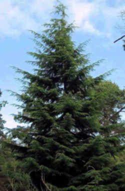 Washington State Tree Western Hemlock Washington State