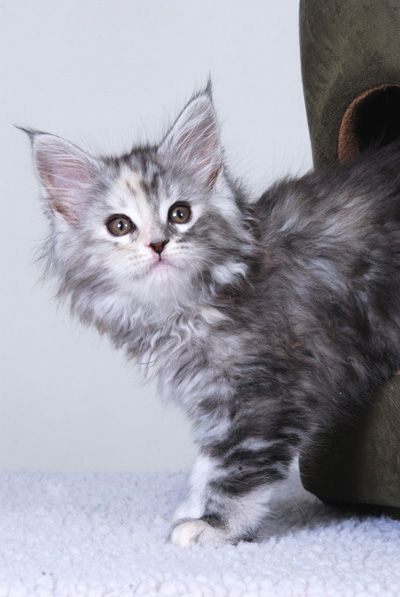 Maine Coon Cats - WhatATrill Maine Coons of Northern California - WhatATrill Maine Coon Happenings/Show Calendar