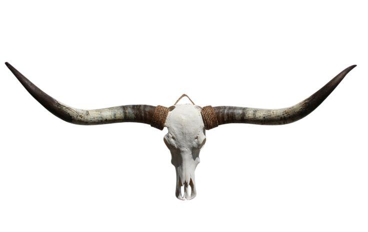 Longhorn schedel 42