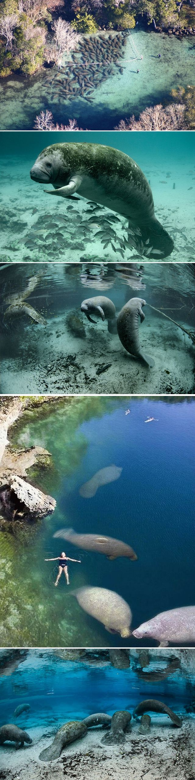 Manatee migration, Crystal River, Kings Bay, Florida.