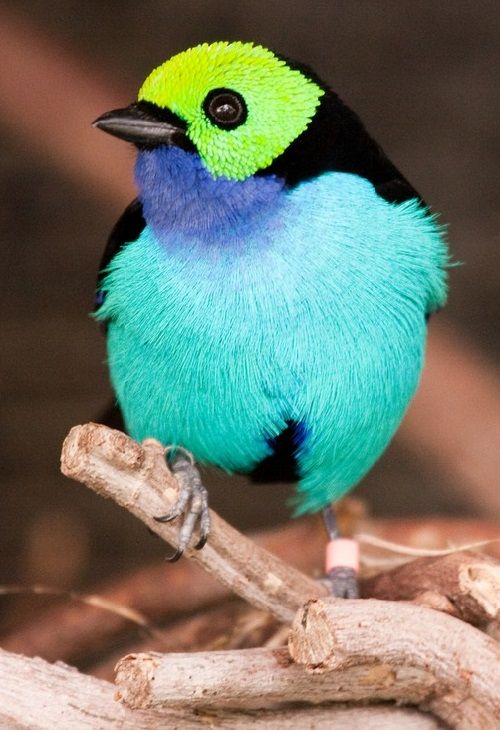 De prachtige Tangara Chelensis, een paradijsvogel in zijn soort - Plazilla.com
