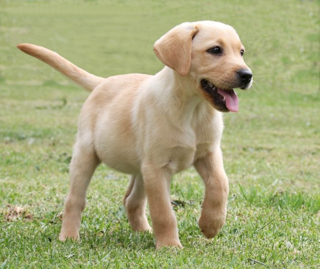 Labrador Retrievers Have Proven Time And Time Again That They Are The Most Beloved Dog Breed In The World With Images Cute Labrador Puppies Labrador Labrador Retriever