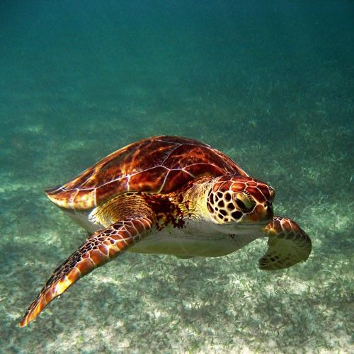 Giant sea turtles are beautiful. Nothing like swimming with these zen like creatures. some of the best memories i have are with these guys!!