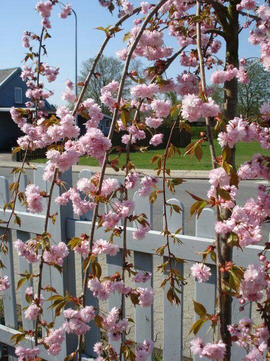 Japansk kirsebærtræ i vores have