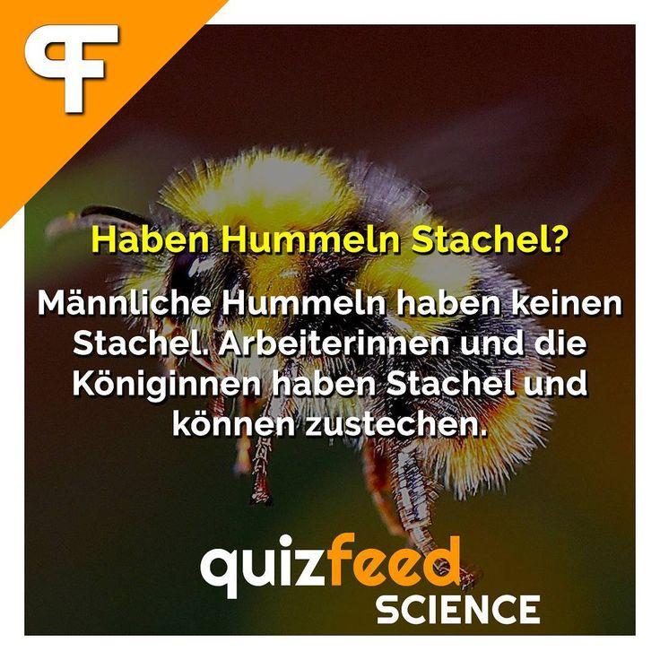 Haben Hummeln Stachel? Männliche Hummeln haben keinen Stachel. Arbeiterinnen und die Königinnen haben Stachel und können zustechen. Wissen clever verpackt!  #hummel #biene #stich #insekt #schmerz #aua #honig #umwelt #natur #tierwelt #wissen #lernen #biologie #interessant