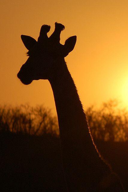 A giraffe spotted on safari in Kwa Zulu Natal, South Africa