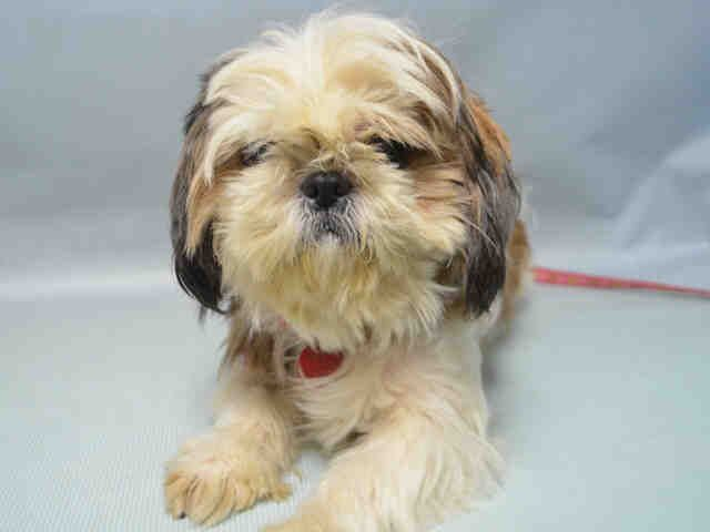 ●12•1•16 STILL THERE!●Urgent Brooklyn - BUTTERCUP - #A1071893 - *RETURNED 11/26/16** - FEMALE WHITE/BROWN SHIH TZU MIX, 4 Yrs - RETURN - ONHOLDHERE, HOLD FOR ID Reason MOVE2PRIVA - Intake 11/26/16 Due Out 11/29/16