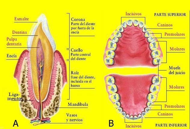 9 best Anatomia Dental images on Pinterest | Anatomía dental, Los ...