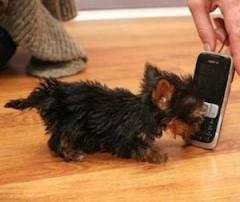 kleinste hond ter wereld - Google zoeken
