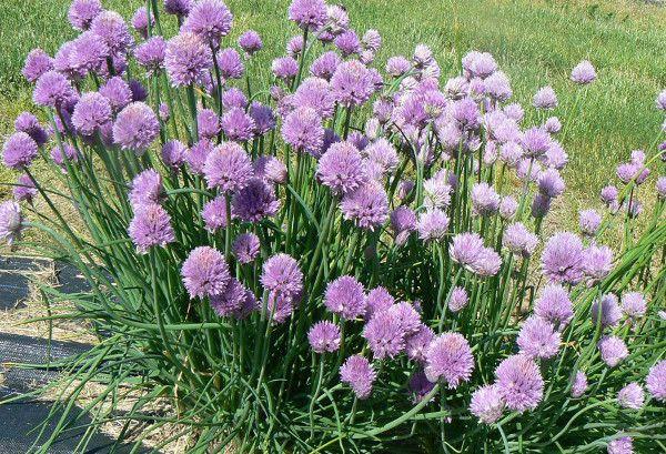 Шнитт лук является популярным многолетним растением, которое принадлежит к семейству луковых. Есть и разные его сорта, которые подходят к разнообразным условиям выращивания. Важная его особенность, ко...