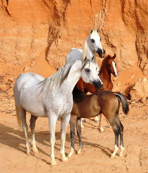 Arabian mares running free in the desert with their foals