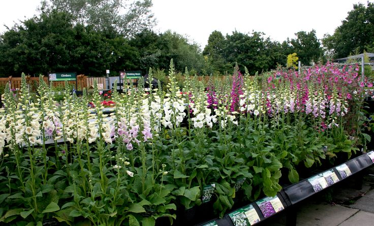 Foxgloves! A must have for all gardens. Bees love them!