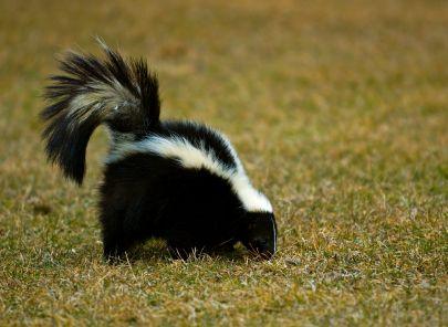 Palm Beach Nuisance Animal Skunk Control Florida F