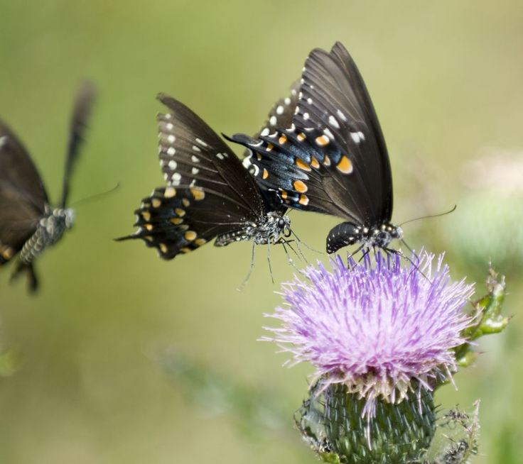 Three Swallow Tails and a Thistle by cliffordpugliese