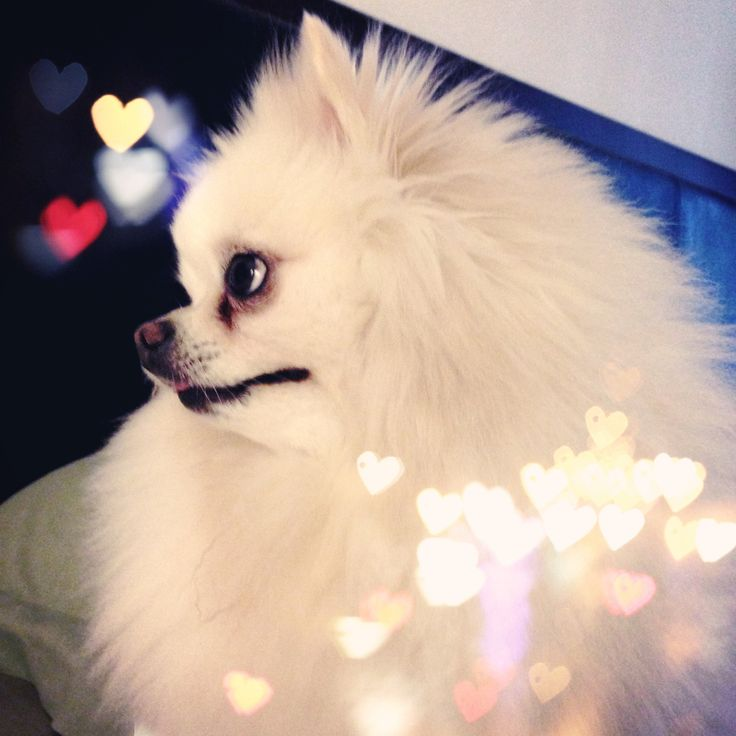 My pretty girl. Pomeranians are the best!