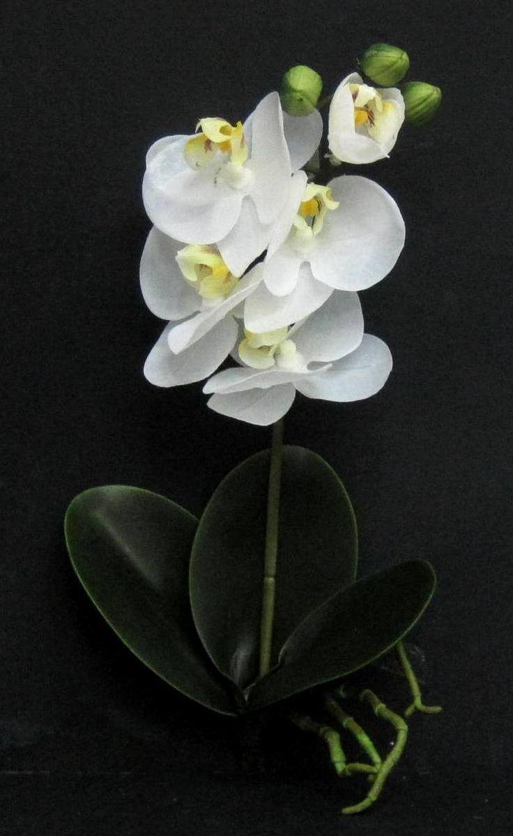 Élethű gumi orchidea, gyökérrel