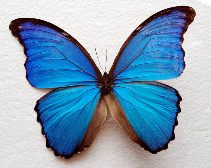 Real Blue Morpho Butterfly Framed in Double Glass Display. $49.99, via Etsy.