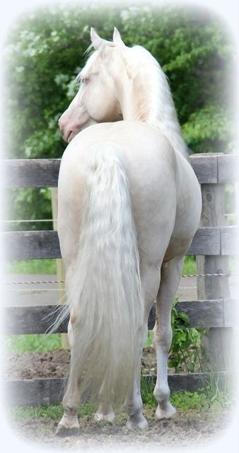A beautiful cremello (you can just barely see a slight cream color on her body)  Morgan horse - Luminesence