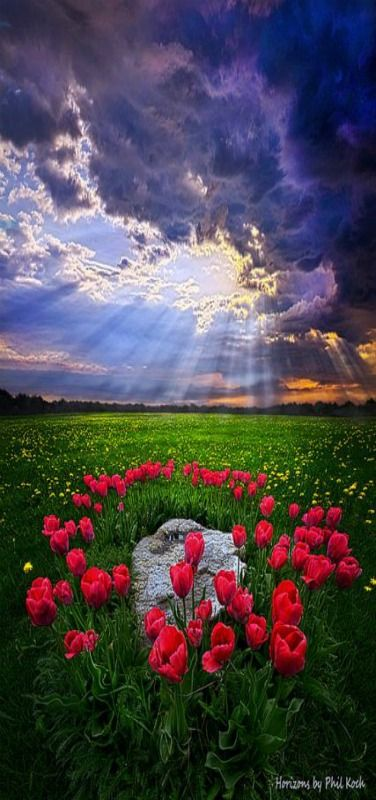 Tulips and sun rays