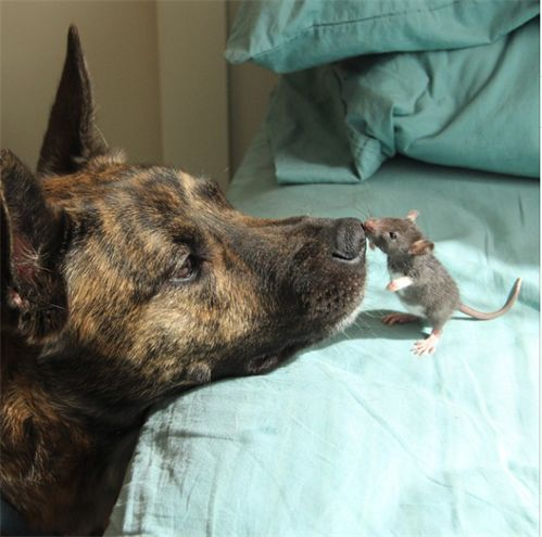 "The unlikeliest of friends: Dog and rat are inseparable (and it's very cute)----After being rescued and nursed back to health at four weeks of age, Riff Rat discovered he had a huge housemate in his new home: a Dutch shepherd named Osiris. They have developed an unlikely but strong bond and have been inseparable ever since.  ""Riff Rat really likes licking the inside of Osiris' mouth"", says their owner Mickey Alice Kwapis. ""I'm sure you all are wondering if we're afraid Osiris will eat Riff…"