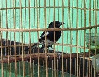 Makanan Kacer Agar Lebih Sehat dan Rajin Gacor –Burung yang bernama ilmiah / latinCopsychus saularis ini memang memiliki suara kicauan yang cukup mumpuni. Tak hanya dengan kemerduan, kelantangan, serta keanekaragaman variasi suaranya saja, tetapi kacer juga punya gaya berkicau yang tak kalah menarik dengan jenis burung berkicau lain, misalnya anis merah yang bergaya teler. Gaya …