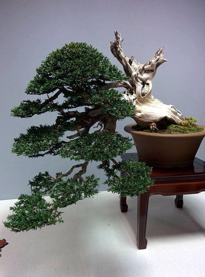 18568 besten bonsai bilder auf pinterest natur ficus for Bonsai hydrokultur
