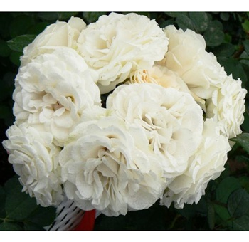 white garden roses or cabbage roses