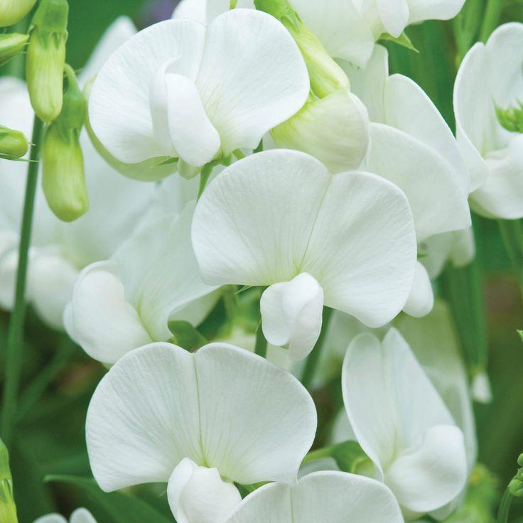Perennial Sweet Pea  'White' (Lathyrus latifolius) - zones 3-9