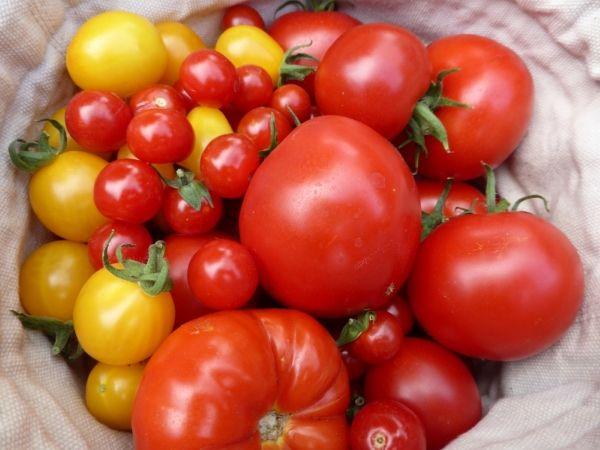 Tomaten Selber Zchten Balkon : ... informatie op tomaten de alte tomatensorten samen 4 hannelore tomaten